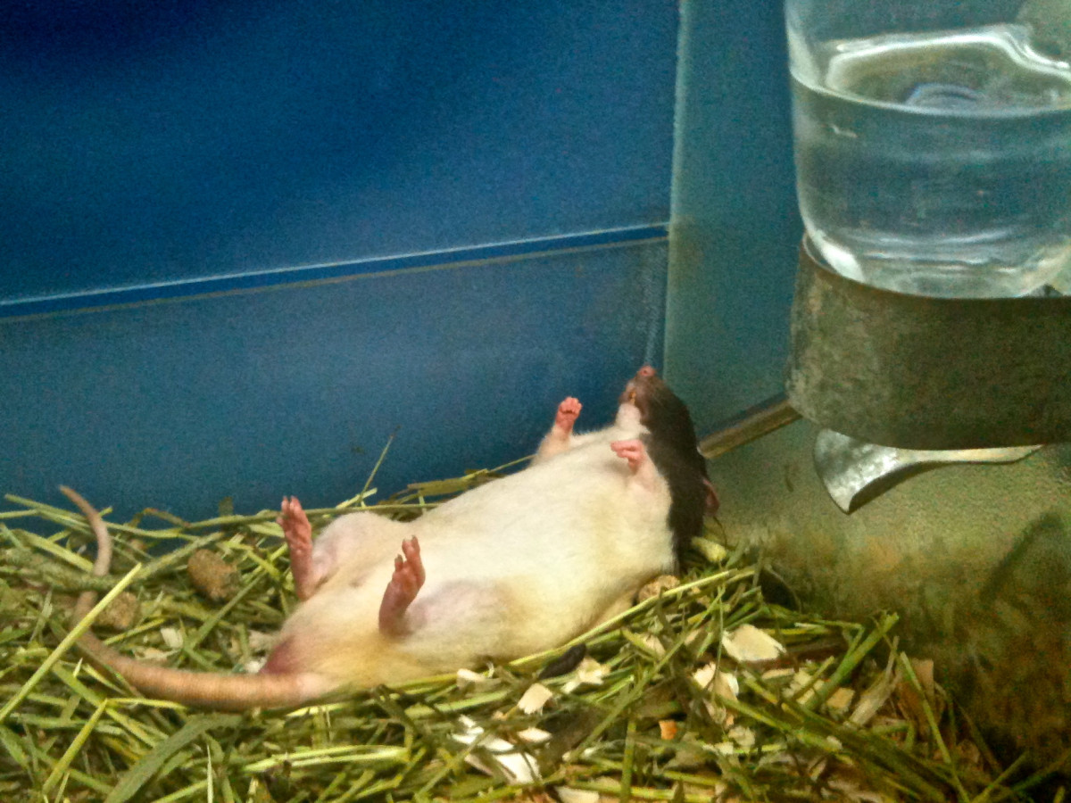 Finding cheap pet rat cages can be daunting for beginners, but it does get easier!