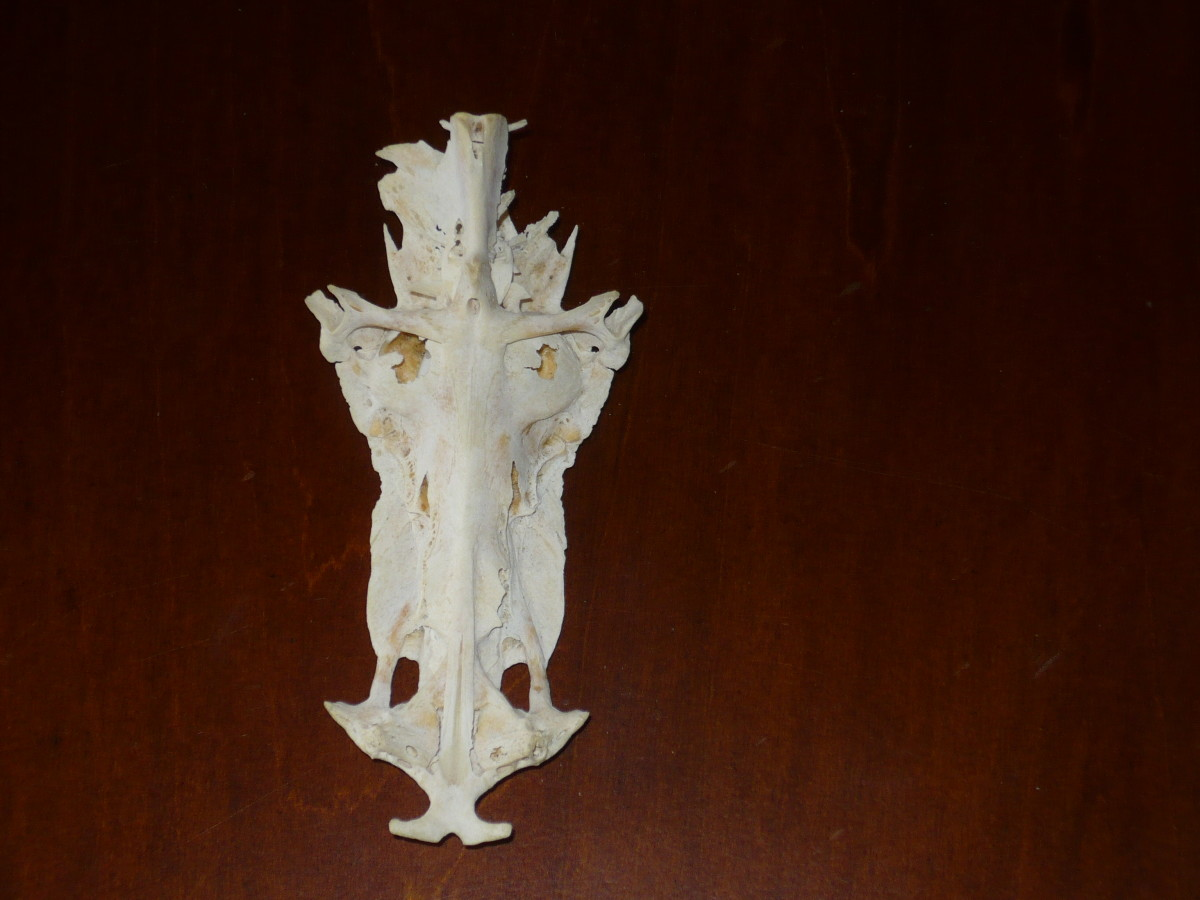 The skull of a saltwater catfish or sailcat.  See Our Lord on the cross?