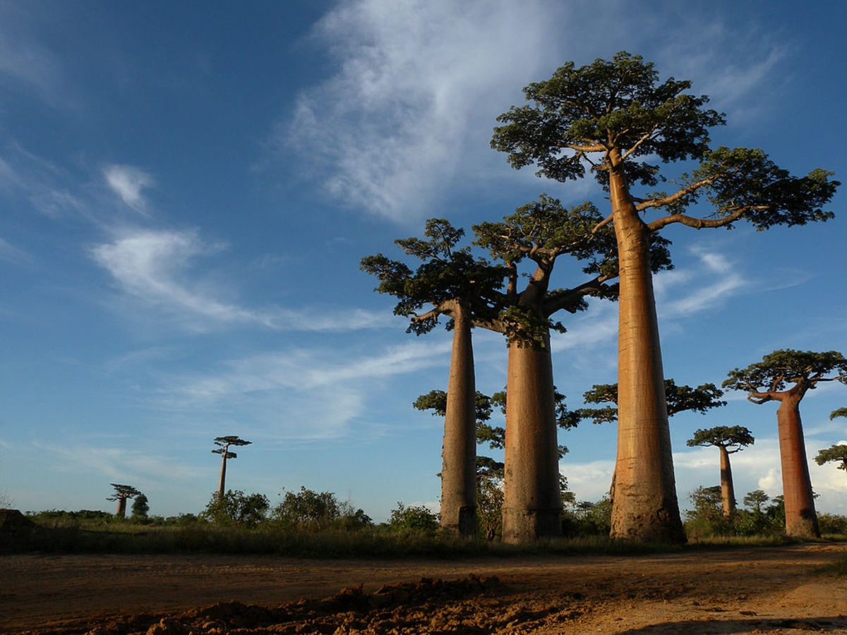 The famous baobab trees in Madagascar.