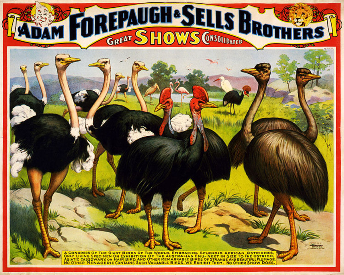 A couple of centuries  ago, these African birds were considered so exotic and strange that they were regularly 'exhibited' at travelling fairs, alongside the 'freak' shows' and 'amazing wonders' type of entertainments popular at the time.