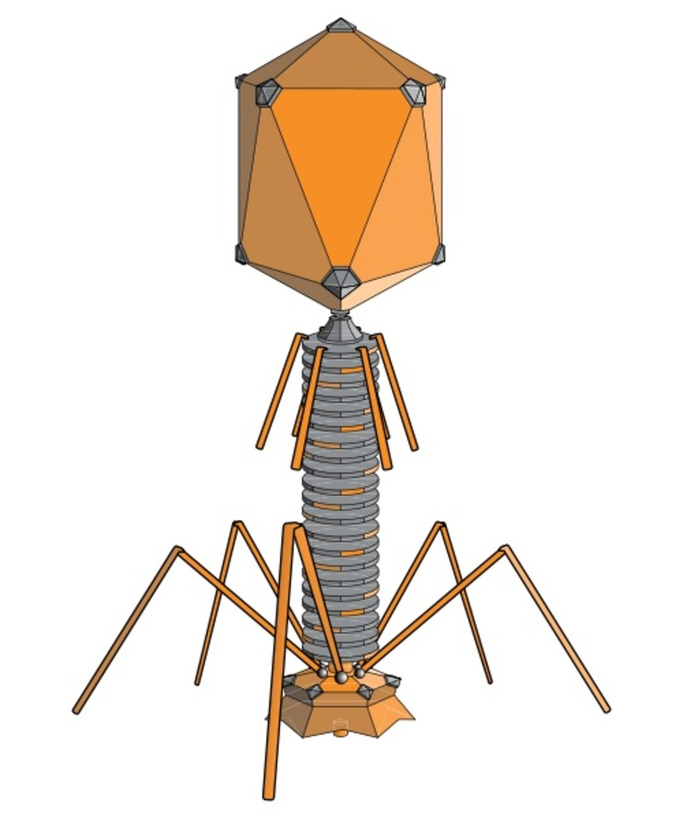 A bacteriophage, or phage, is a virus that attacks bacteria.
