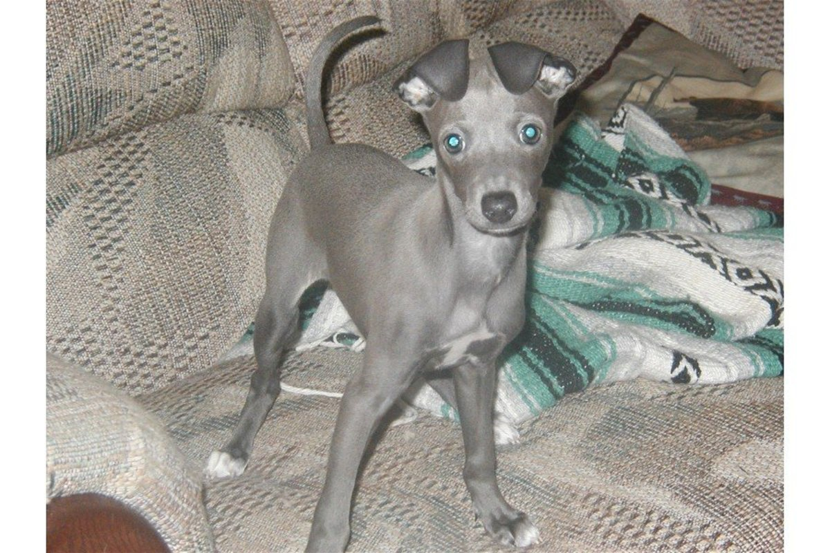 9 week old Italian Greyhound