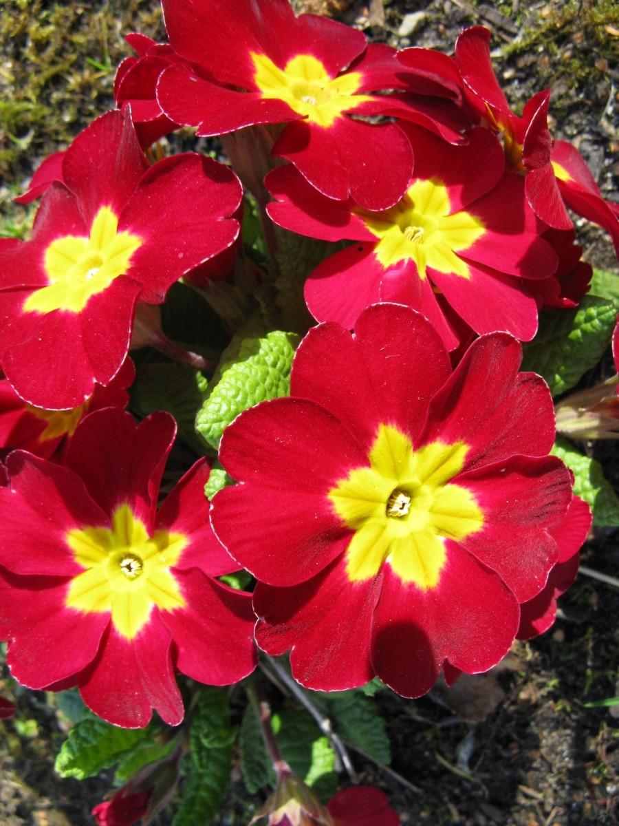 A red polyanthus primrose