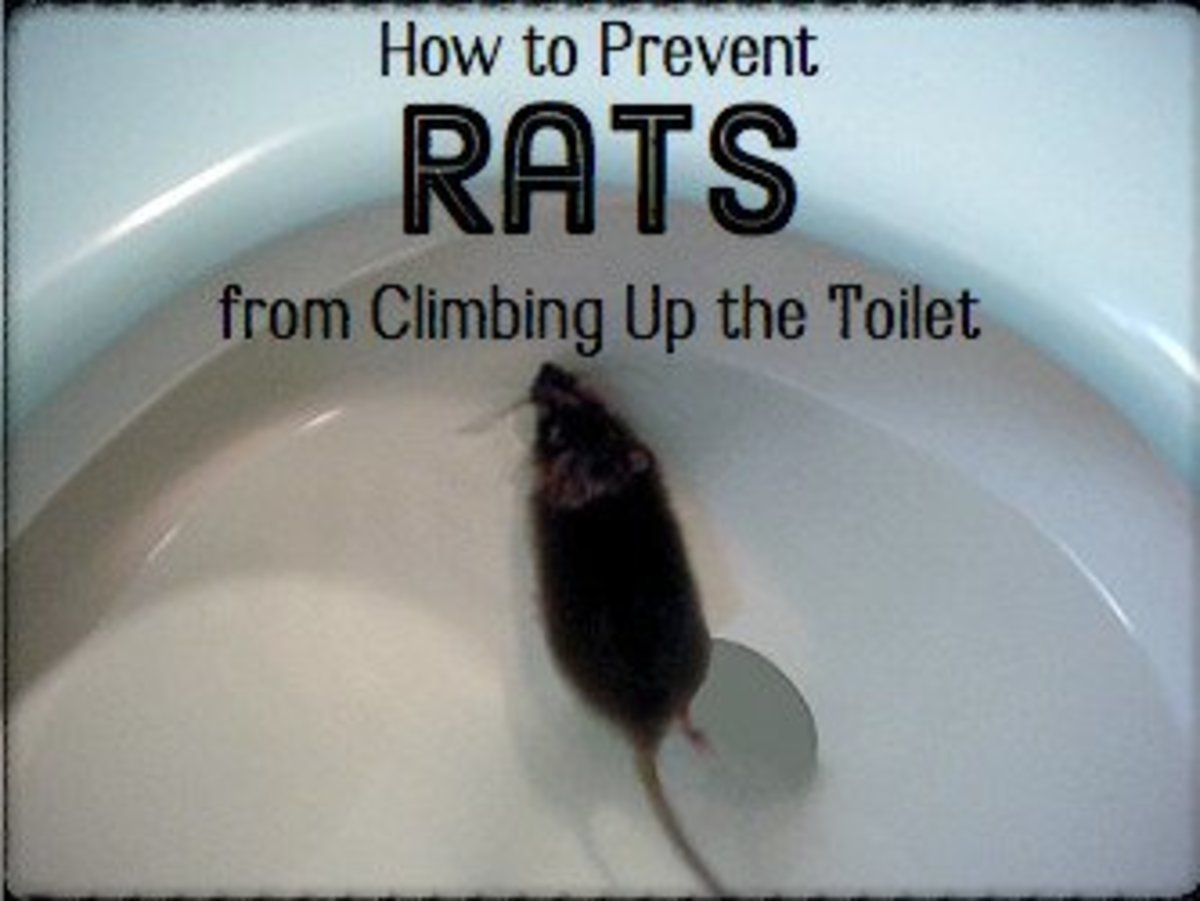 This rat isn't checking to see if the toilet is clean under the rim.