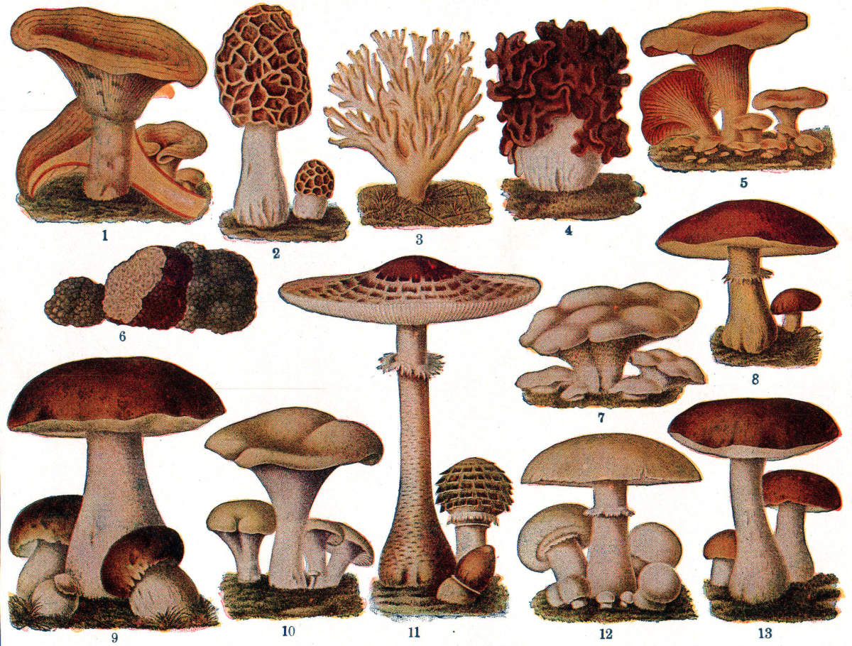 Nutritional Facts and Uses of Edible Mushrooms