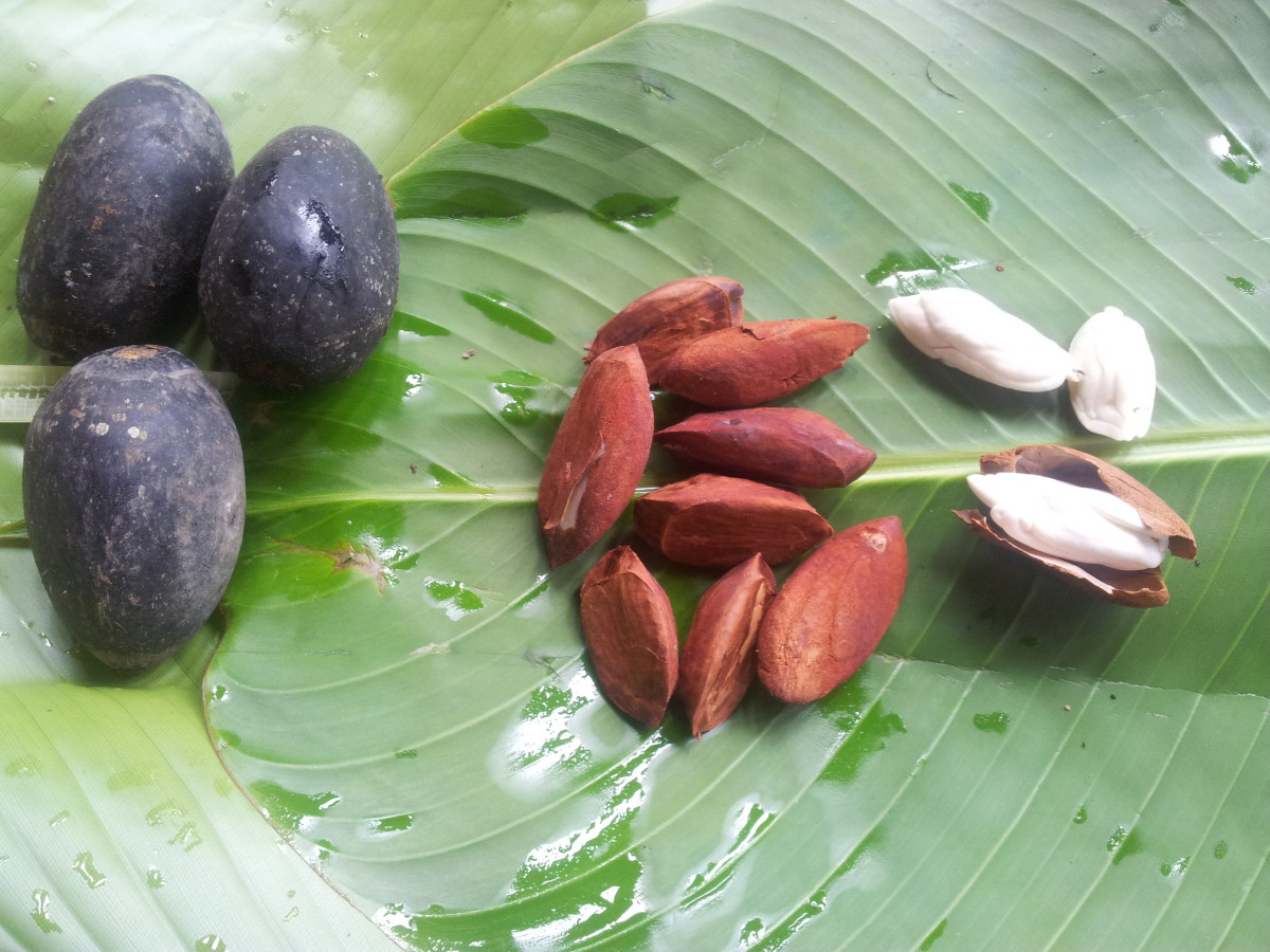Fresh galip nuts with outer dark purple-black pith, the kernel with brown covering and the edible yellowish-while nut inside