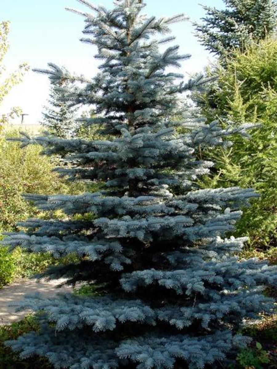 This Colorado blue spruce looks perfect with every branch still intact.