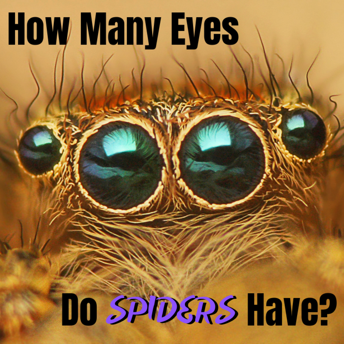 Most people think that spiders have eight eyes, but is this really the case?
