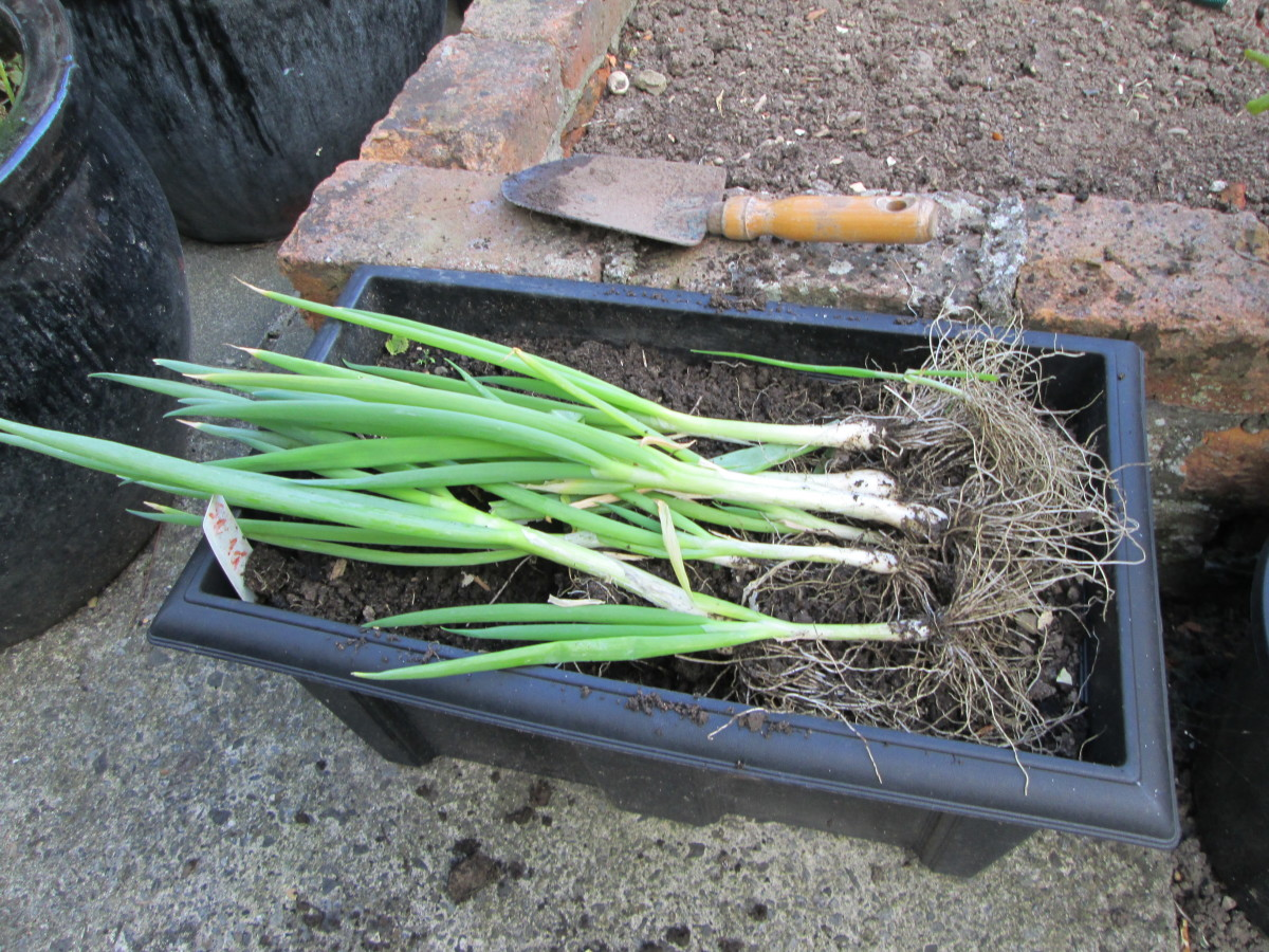 Scallions Growing in Garden