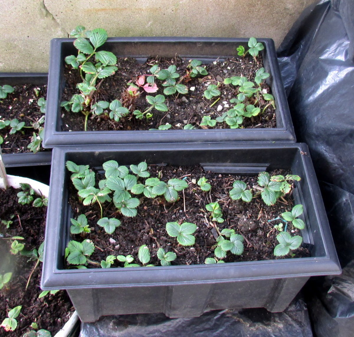How to plant and grow Strawberries in containers in the backyard