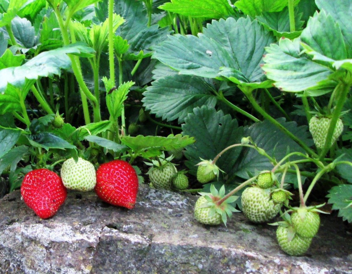How To Grow Strawberries in Containers / Gardening Tips: Jam Recipe