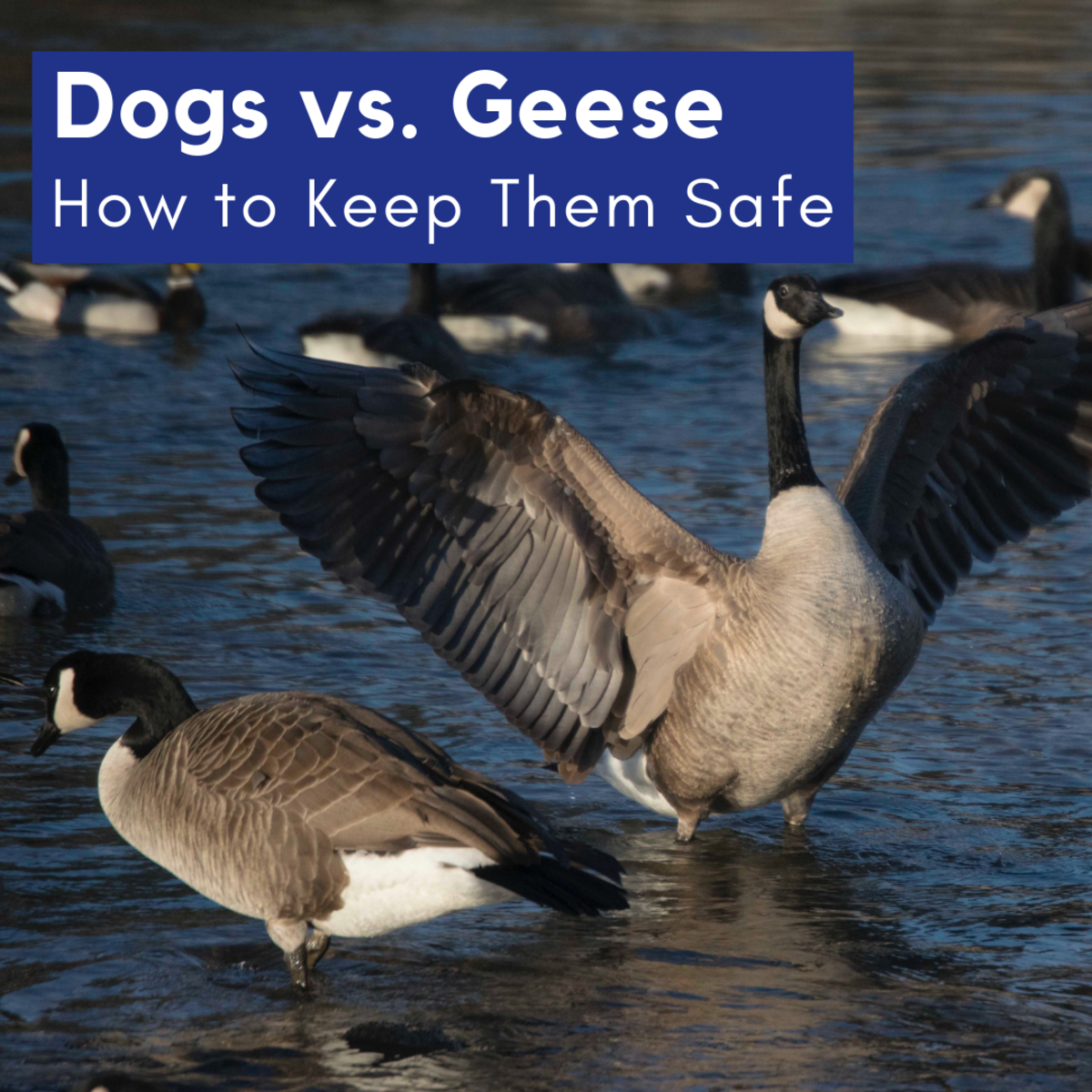 When Wild Geese and Dogs Meet   PetHelpful