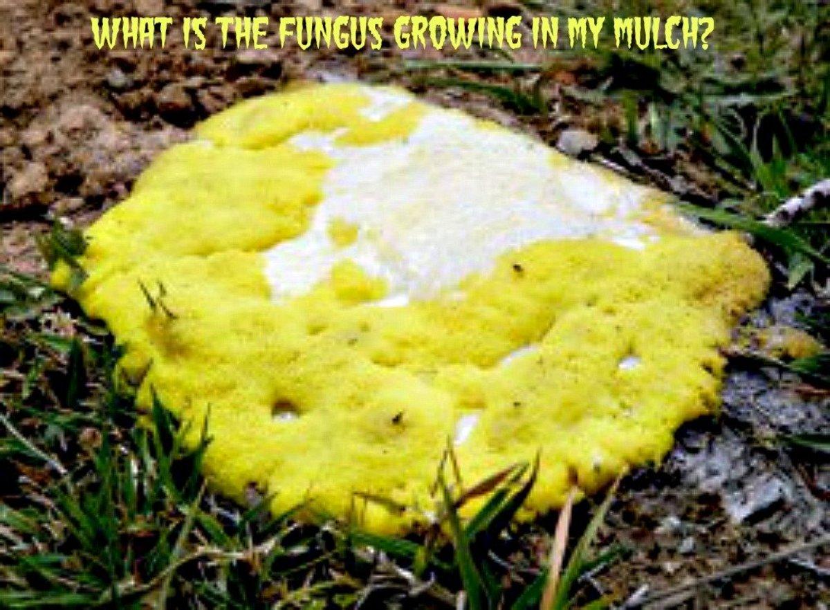 What Is That Orange Fungus Growing In My Mulch Dengarden