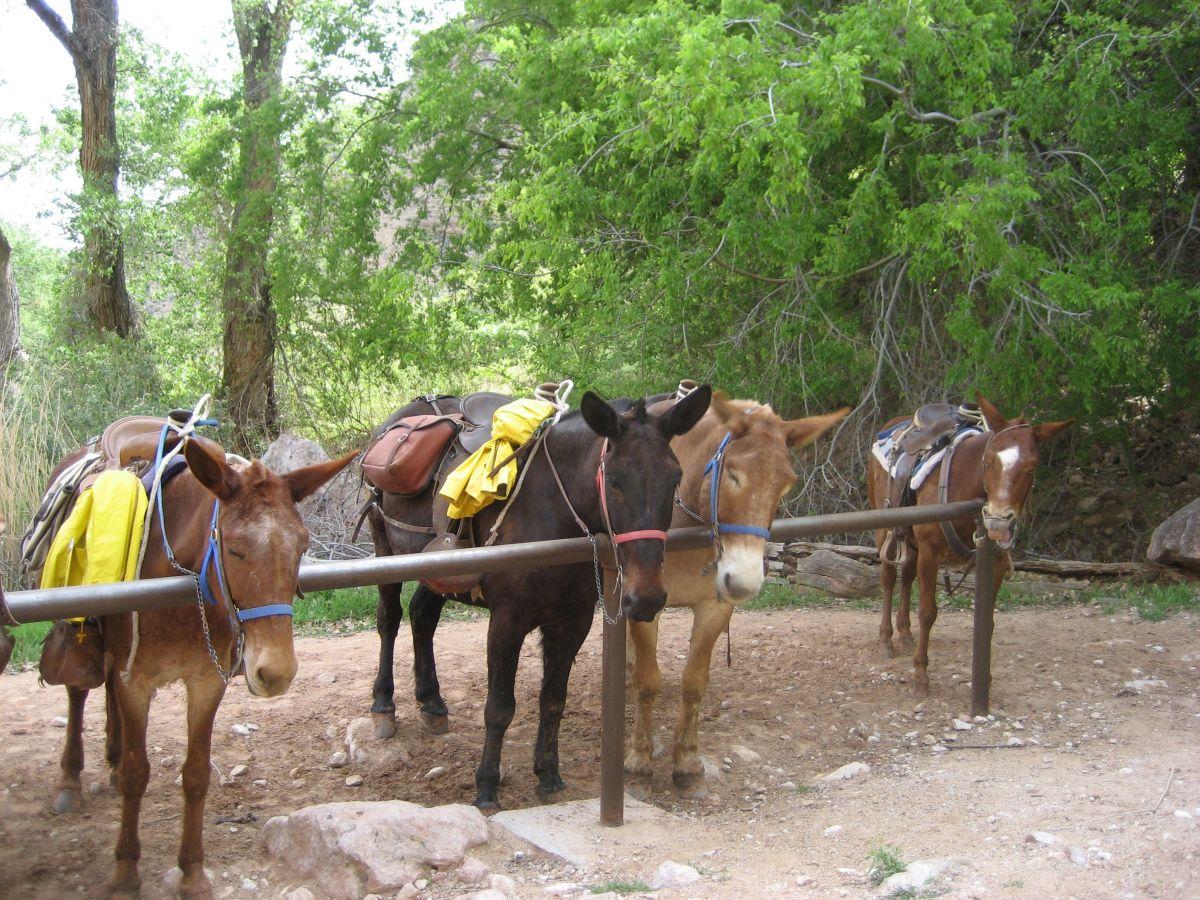 Grand Canyon saddle mules take a break at Indian Garden.