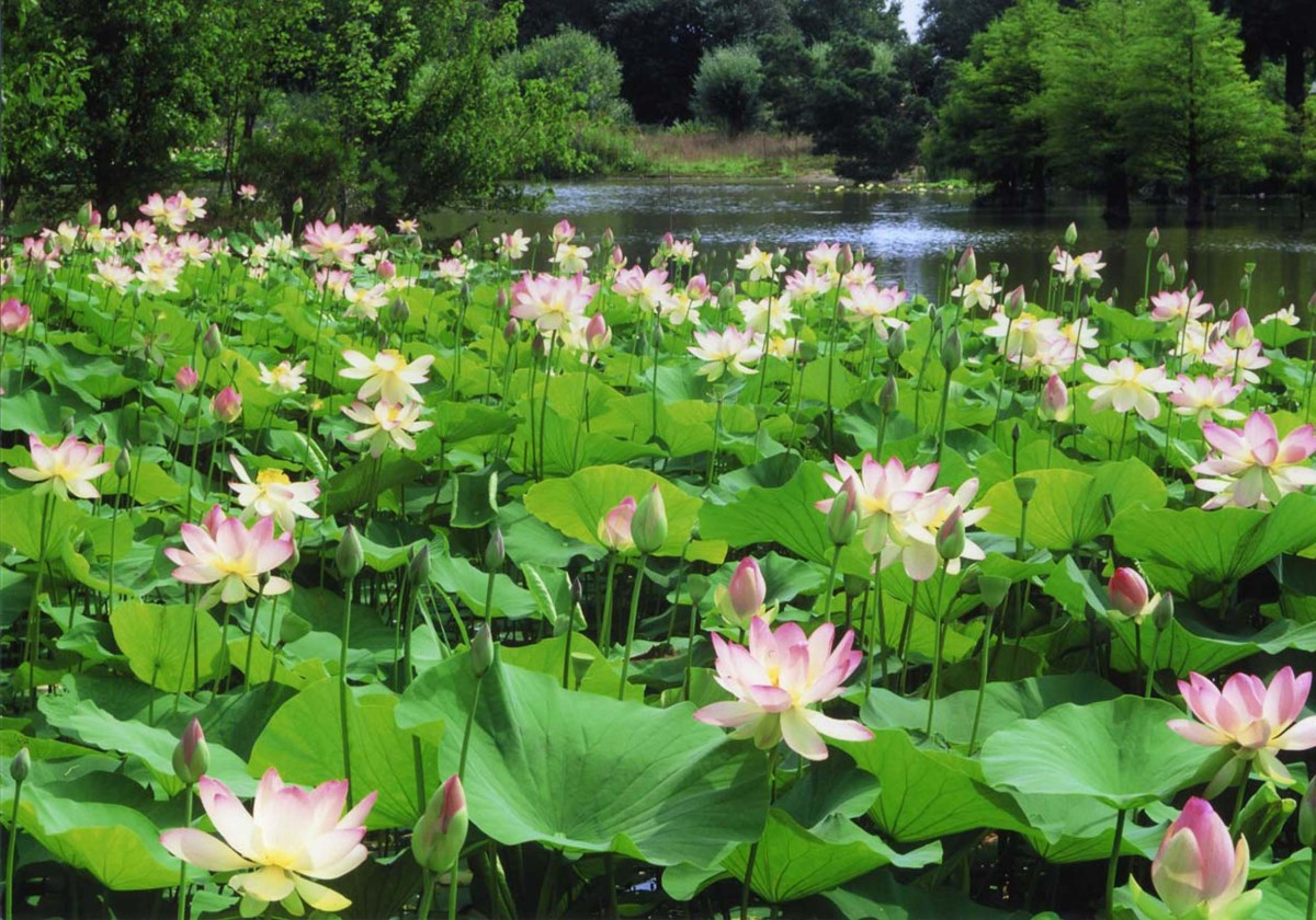 Lotus plants grow in water.