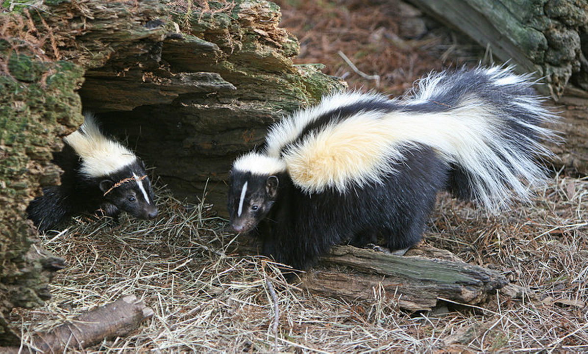 how to get rid of skunk odor hubpages