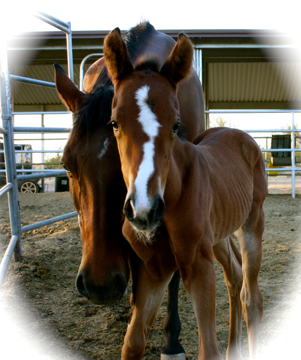 Preparing to Deliver a Foal: A Horsebreeder's Eight Emotional Stages