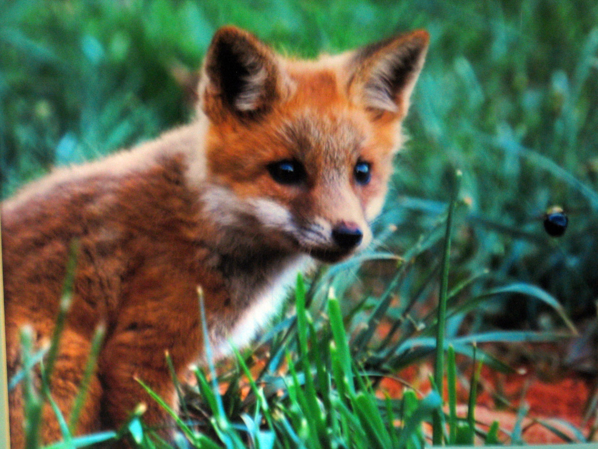 A young red fox, the favorite quarry of the hunt.
