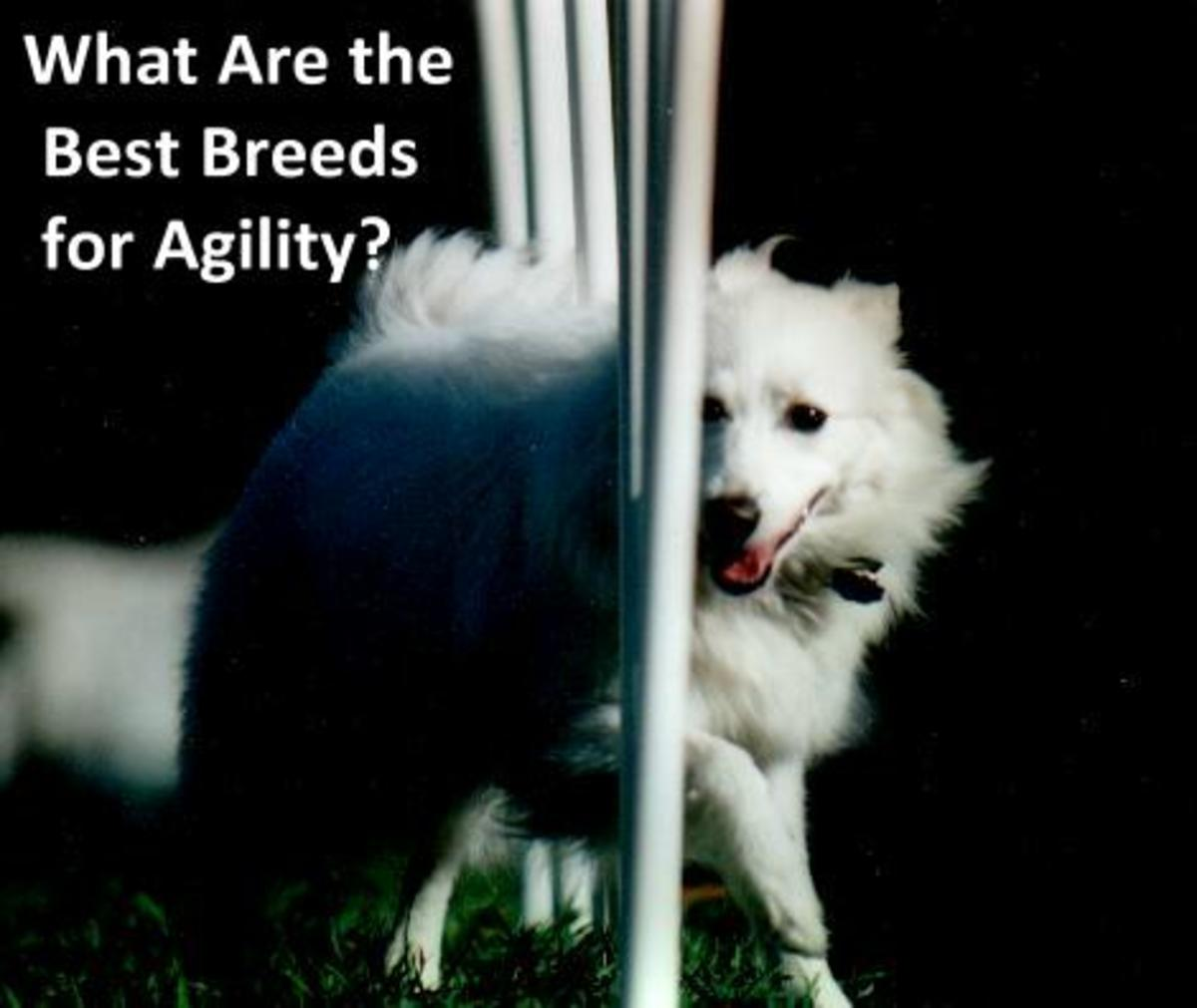What Are the Best Agility Dog Breeds?