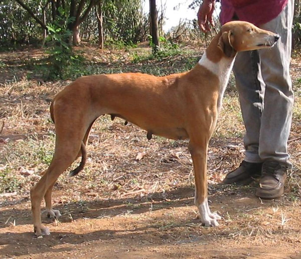 The Pariah and Best Noble Dog Breeds From India