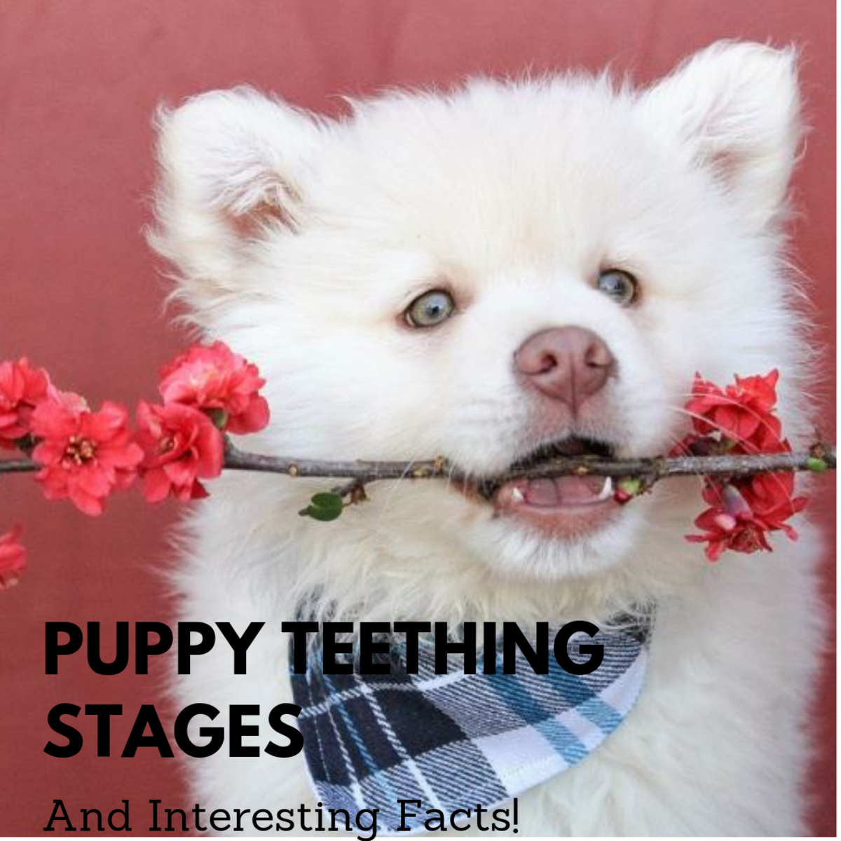 Puppy teeth go through multiple stages.