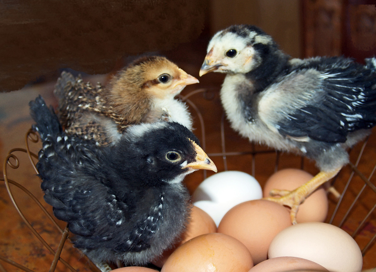 We raise farm fresh eggs; these are our first chicks. The one on the right turned out to be a rooster.