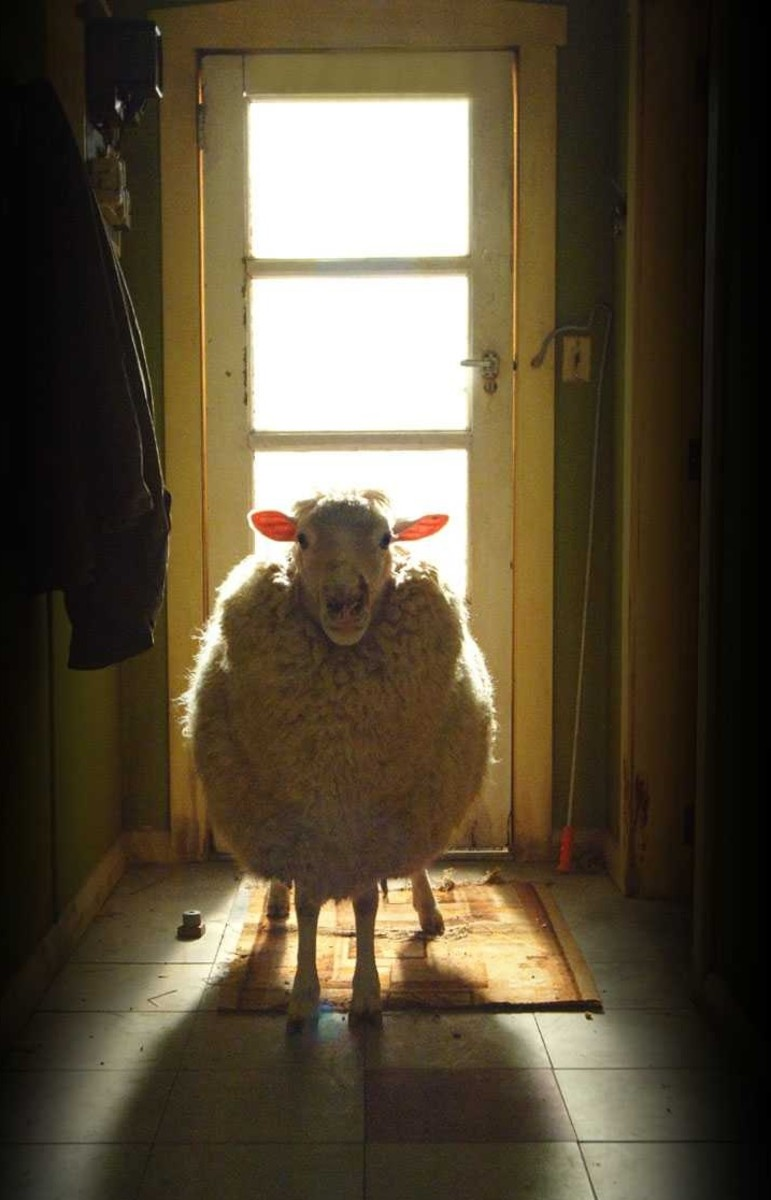 Black sheep are coming for you.... baaah!