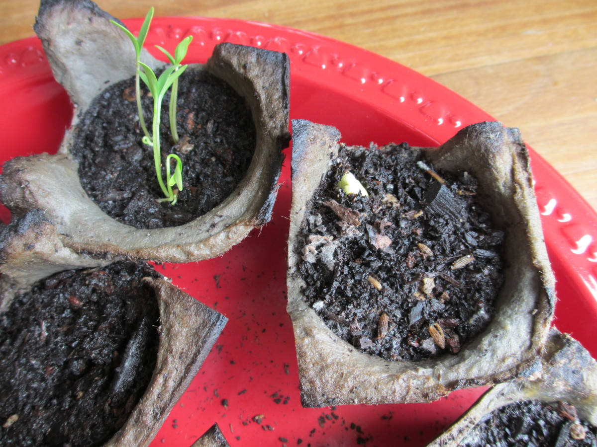 Recycle old egg cartons to sprout seeds!