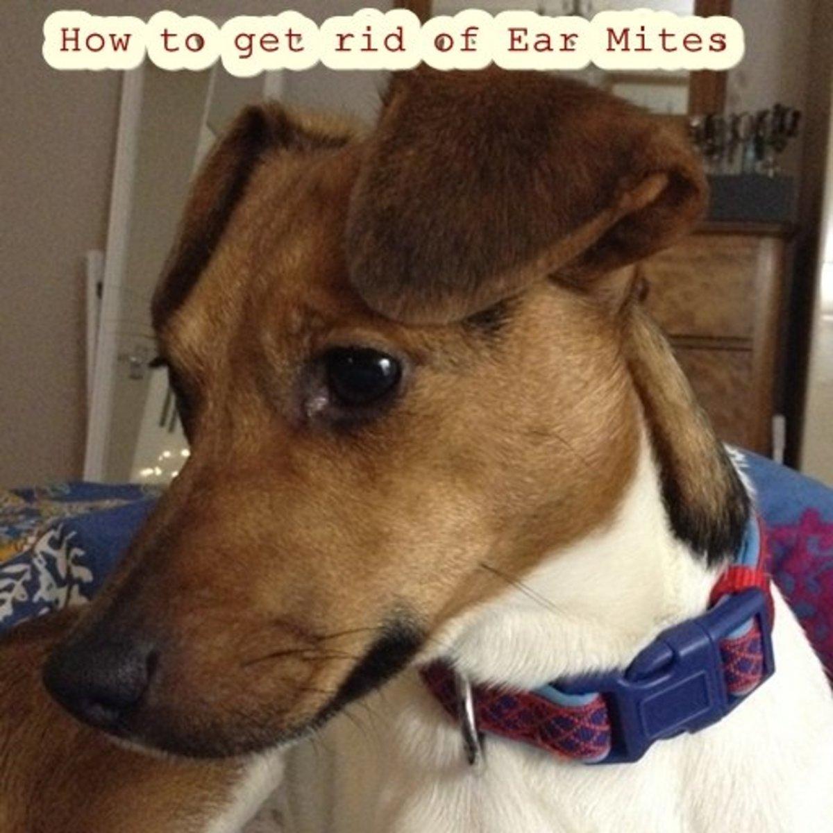 Pet Ear Mites: Diagnosis, Symptoms, Treatments