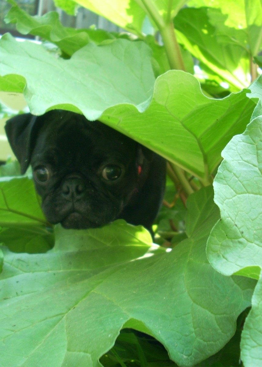 Homemade Diet for Dogs With Liver Shunt