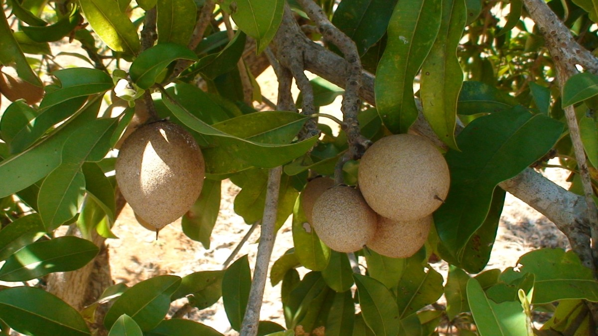 Chikoo fruit on the tree