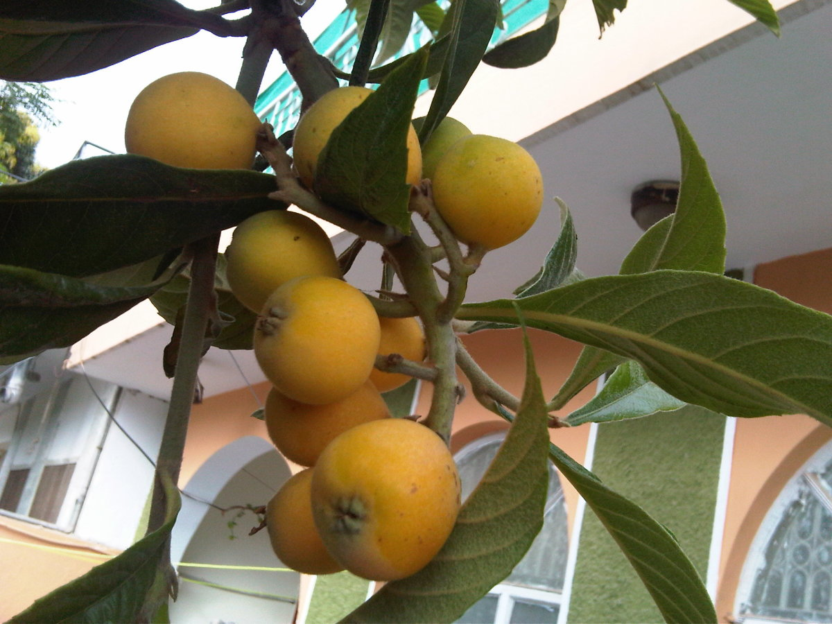 Nutritional Benefits of Loquat Tropical Fruit