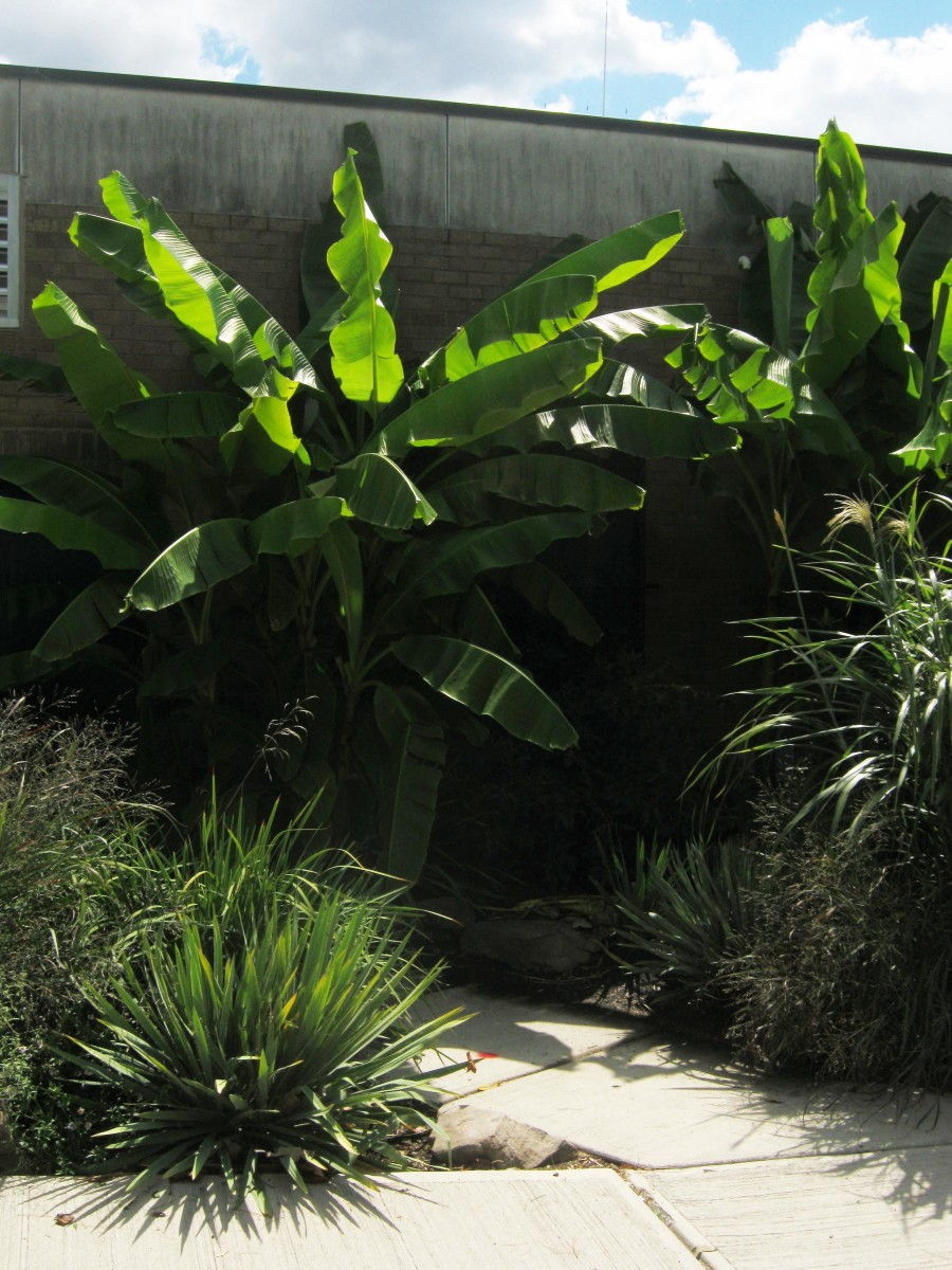 How to Grow Banana Plants in Cool Climates
