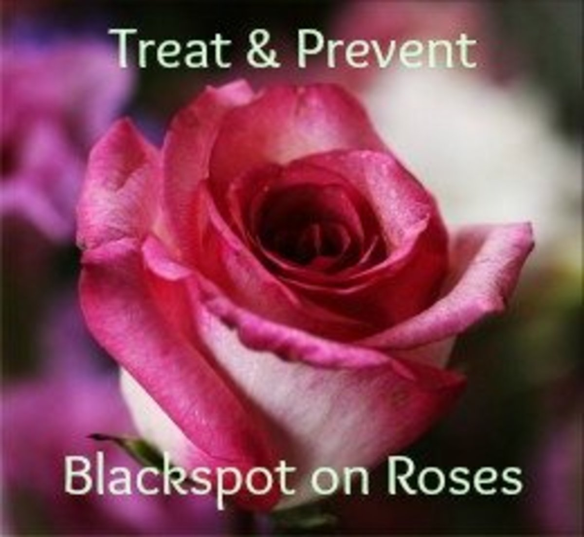 Treat and Prevent Blackspot on Roses