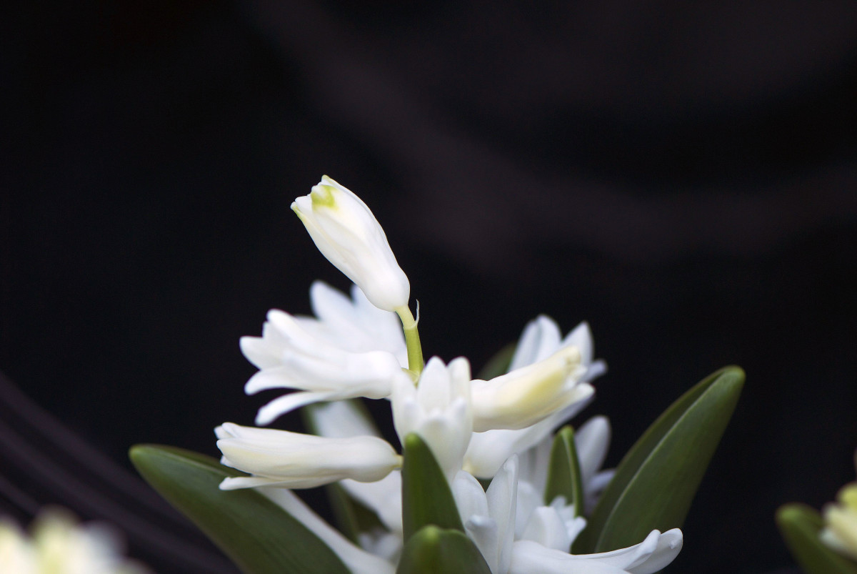 A newly bloomed Hyacinth on my deck.  The black bucket works well with the Nikon Micro lens.