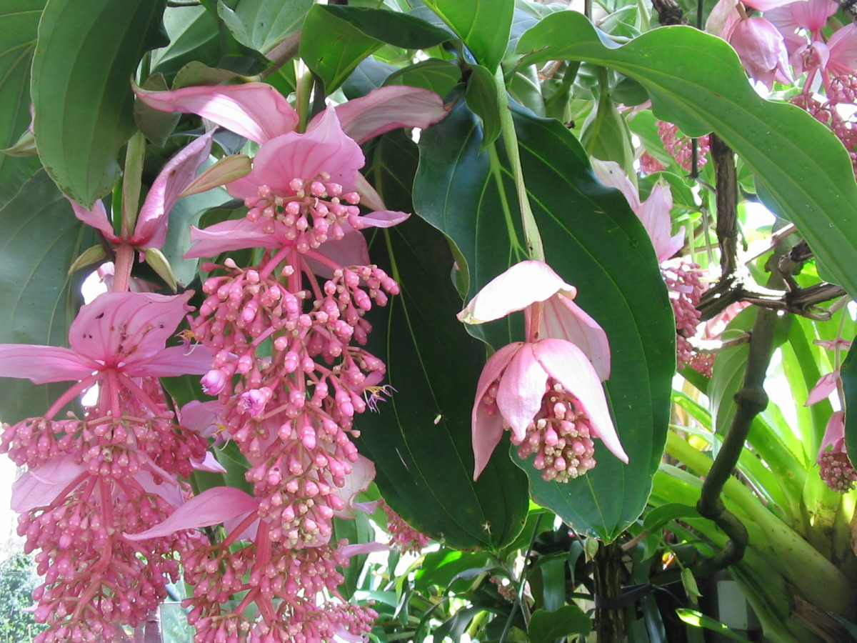 A beautiful lush pink lantern, also known as medinilla magnifica, in bloom.