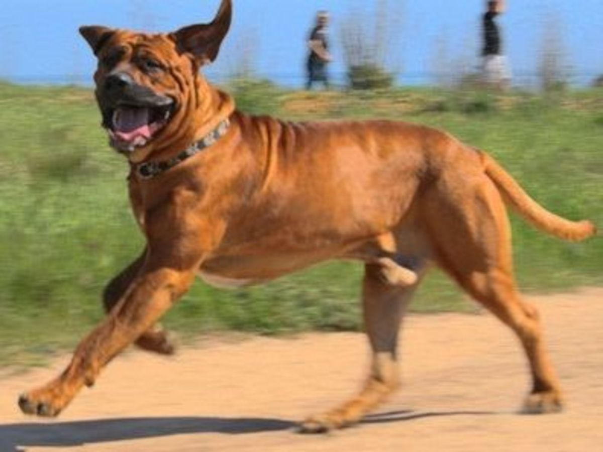 Five Commonly Banned Dog Breeds