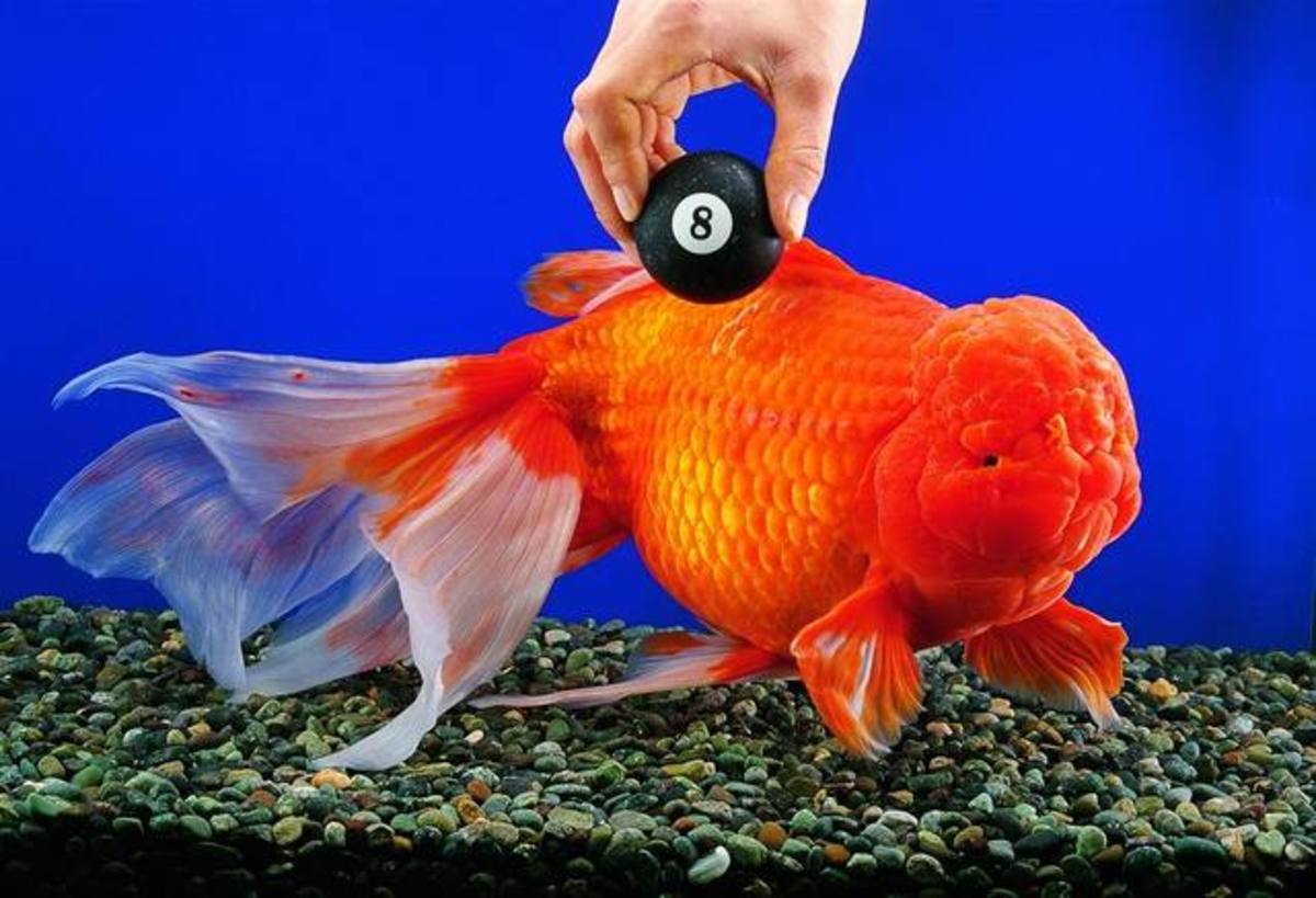 Bruce is a 3 pound 15 inch long fancy goldfish living in China. He holds the record for the biggest Oranda goldfish.