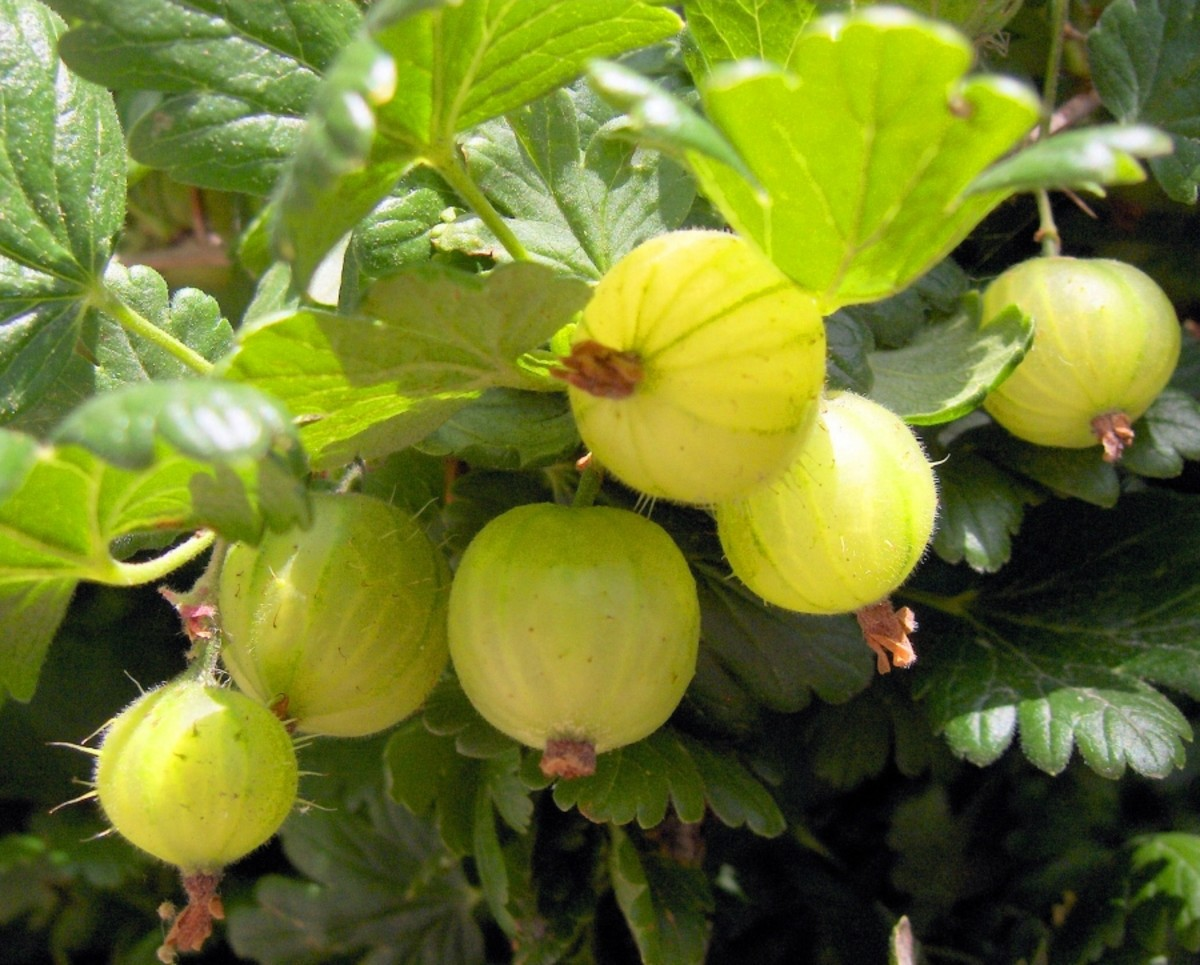 Gooseberries (Ribes uva-crispa) Photo attribution license: http://creativecommons.org/licenses/by/2.5/