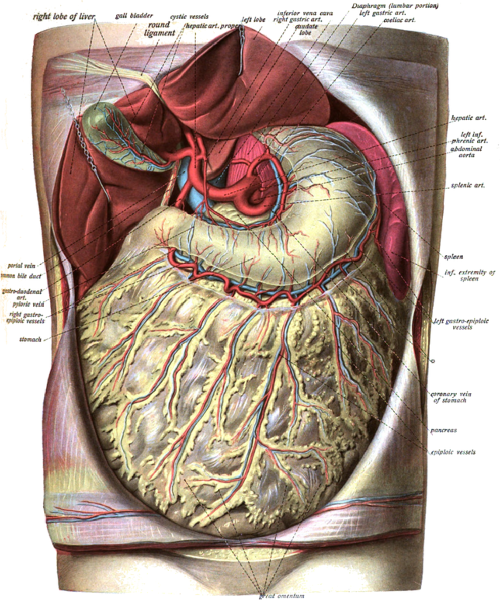 The greater omentum hangs from the stomach like an apron. The liver has been lifted out of the way in this illustration.