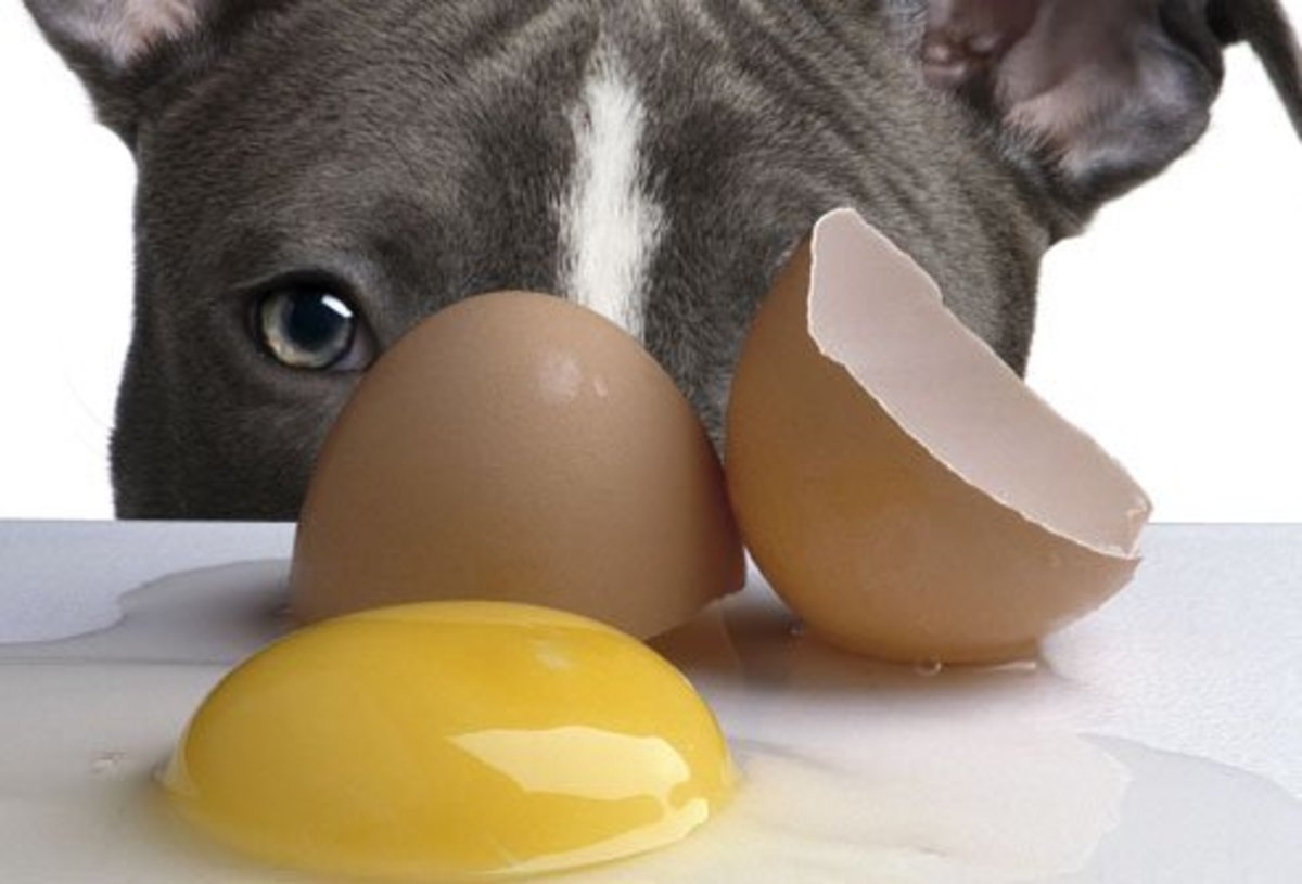 Raw eggs will give your dog vital nutrients while making his coat and eyes shine!