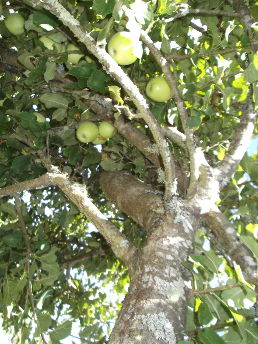 How to Give New Life to an Old Apple Tree