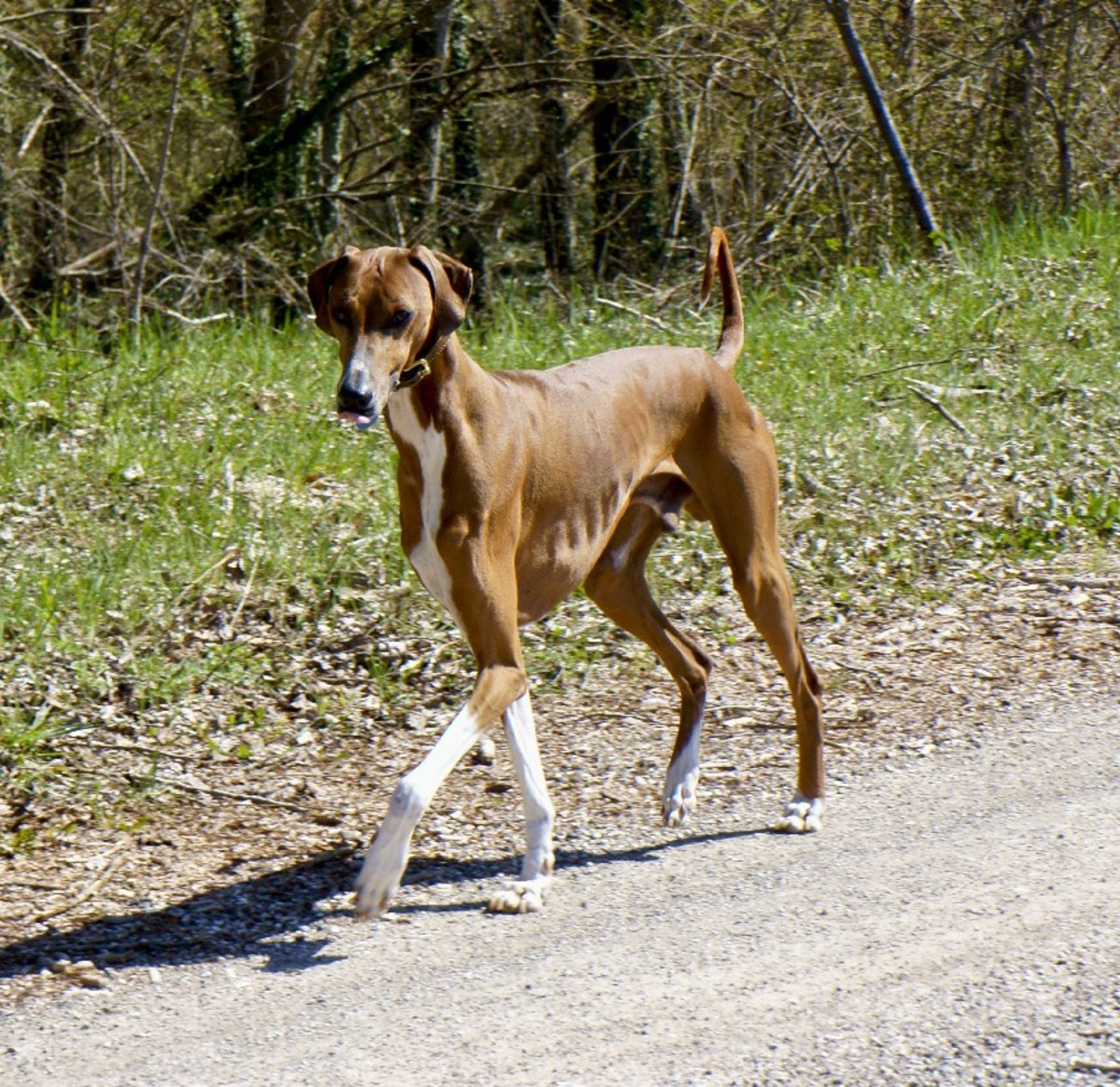 Five Best Dog Breeds From Africa