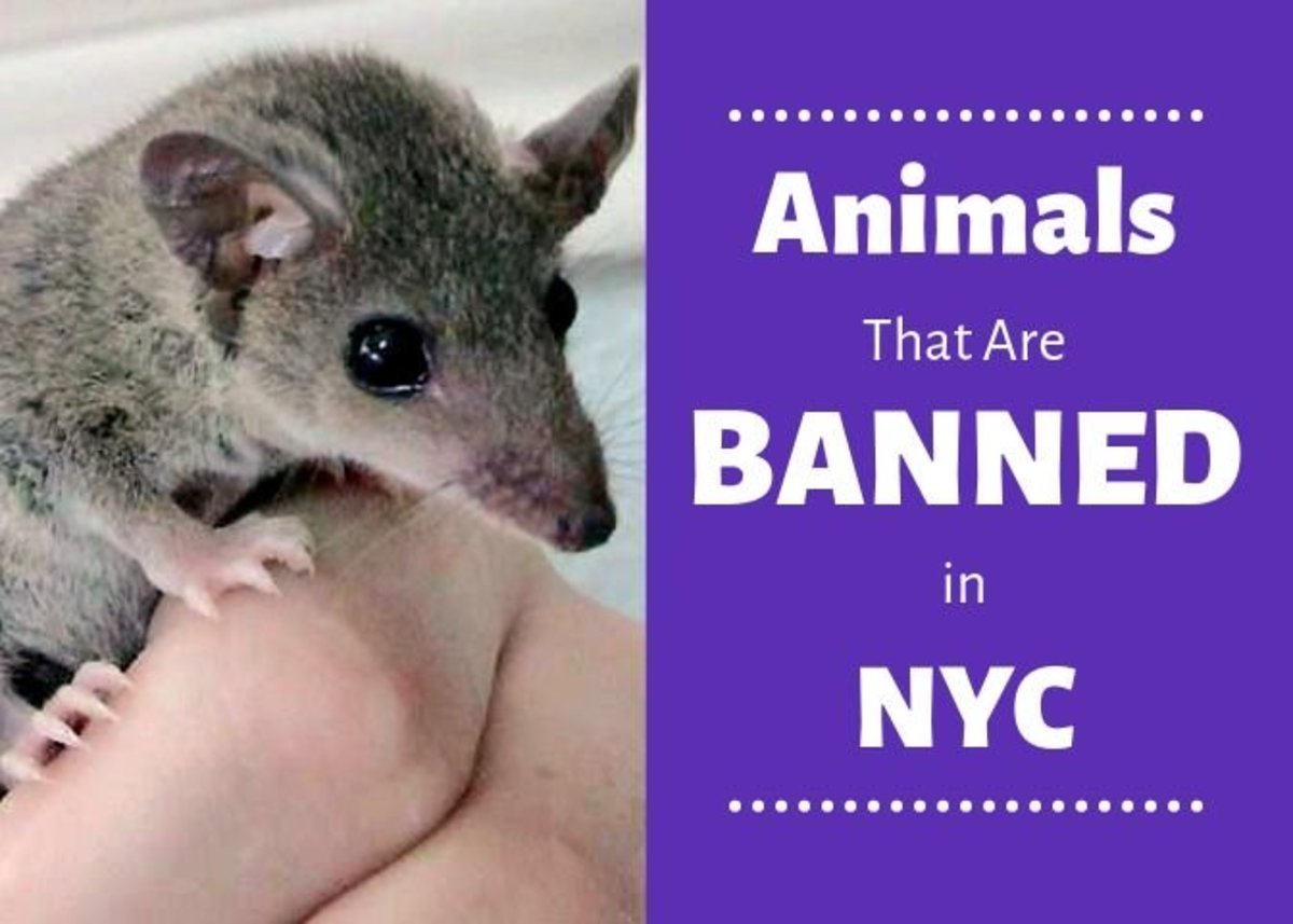 The short-tailed opossum is just one of the many animals that are banned by New York City legislature.