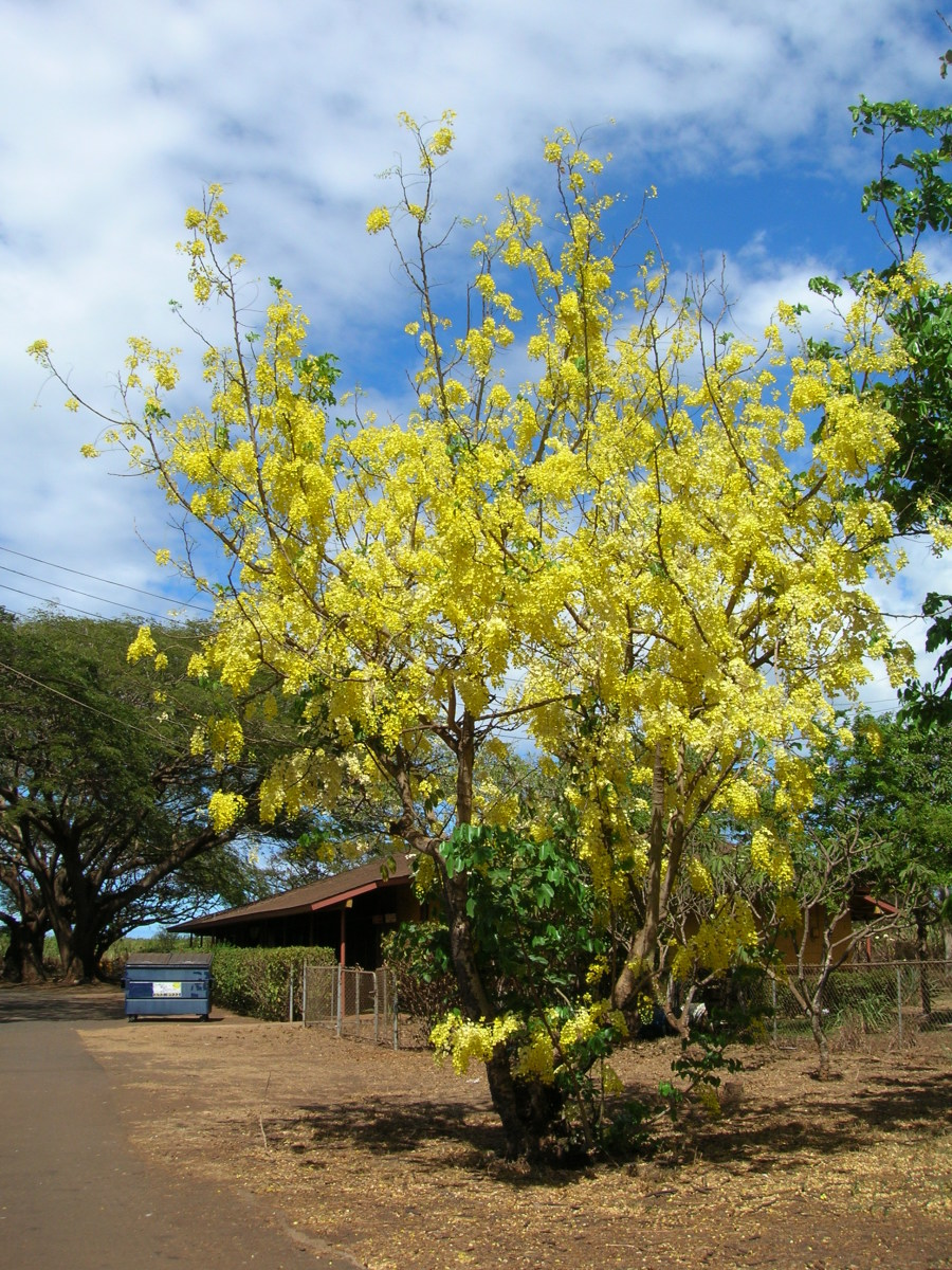 The Amaltas tree