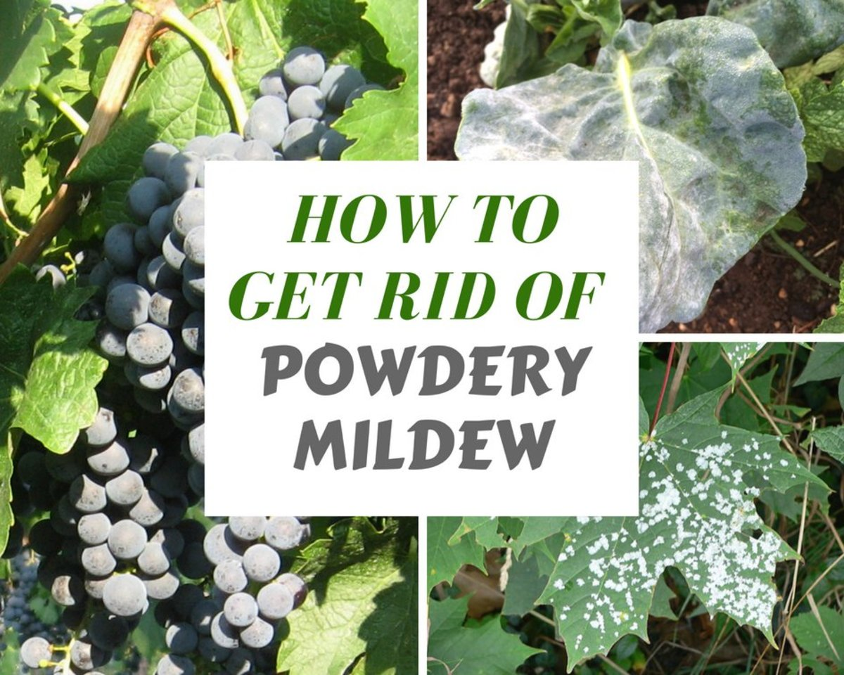 Kill And Prevent White Powdery Mildew