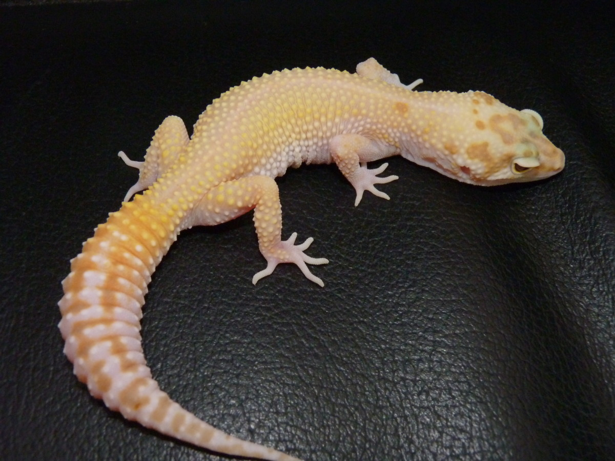 Shedding and Tail Loss in Leopard Geckos