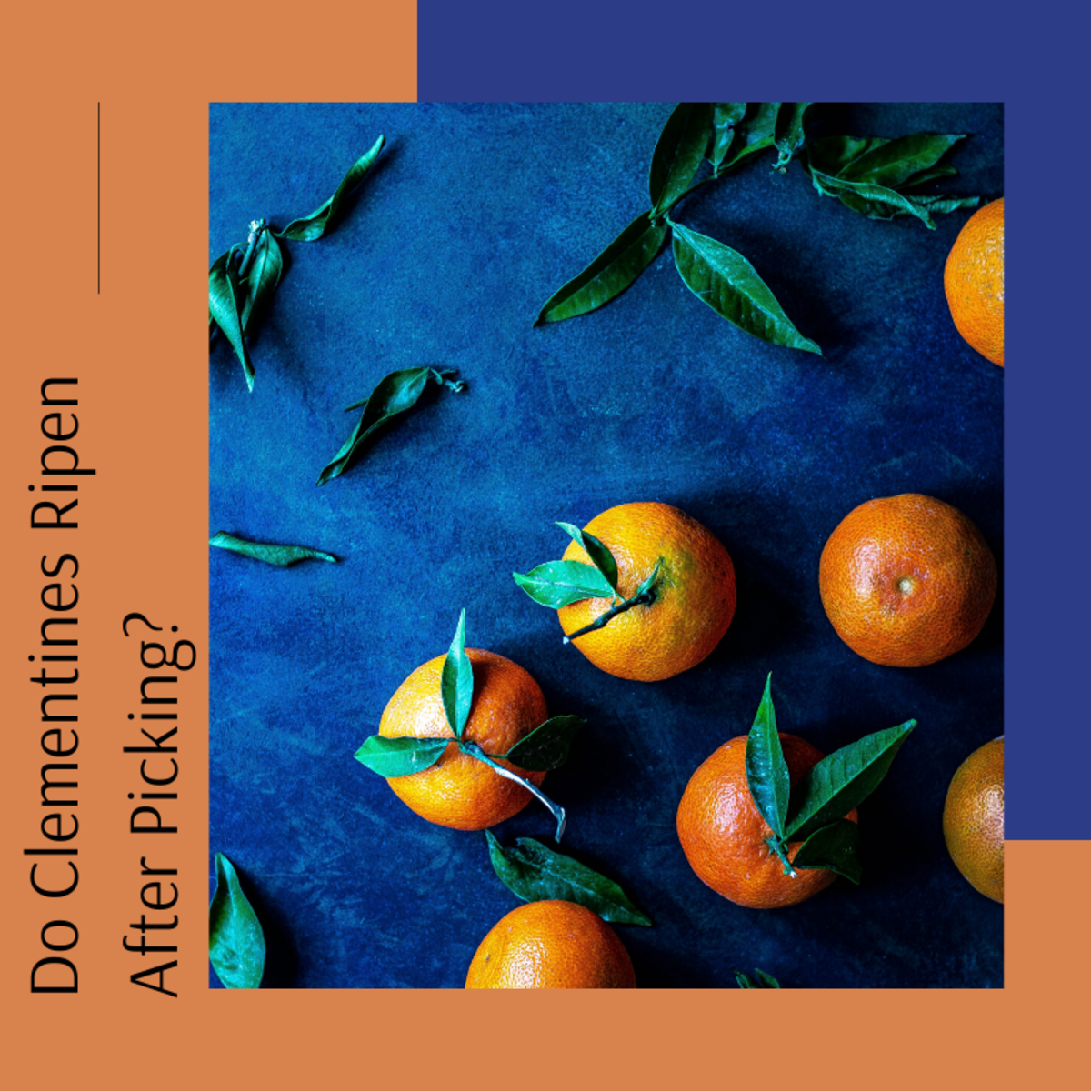 Find out why clementines don't ripen after picking them.