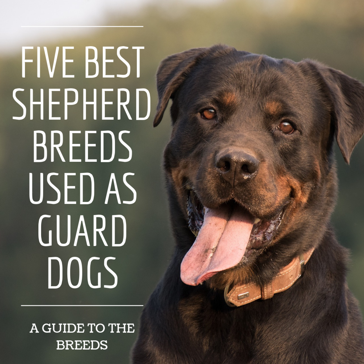 The Five Best Shepherd Dog Breeds for Protection