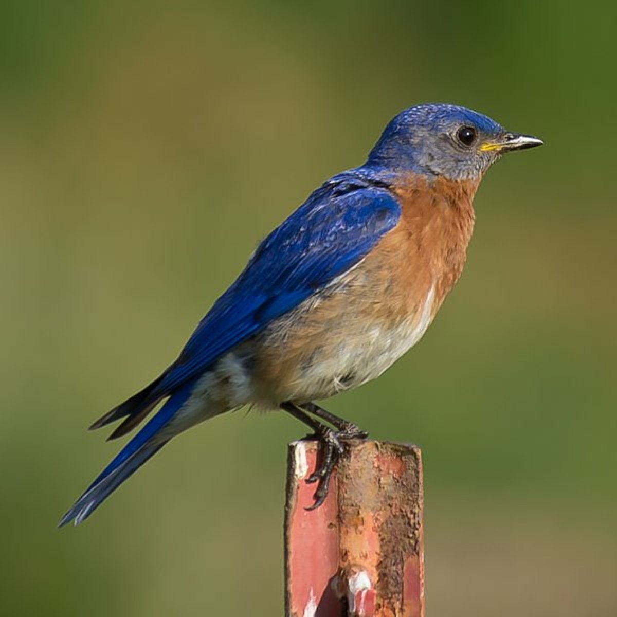 Eastern bluebirds are a striking blue above balanced by a white belly and rufus chest.